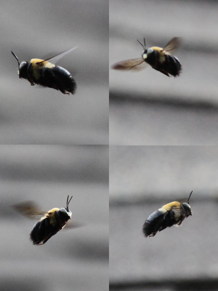 Native Bees | Natural and Agricultural Observations In ...
