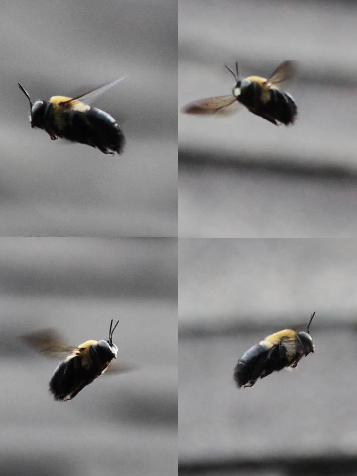 Male Eastern Carpenter Bee Male Eastern Carpenter Bee