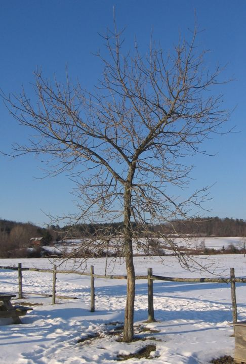 Trees In Winter Identification By Overall Shape Natural