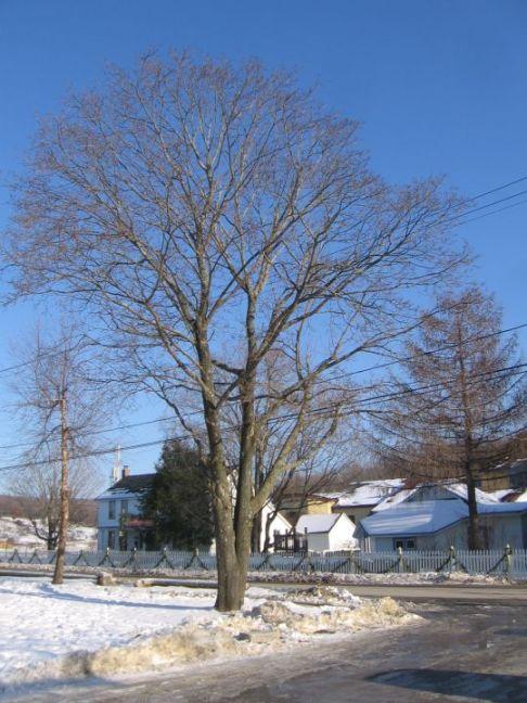 Norway Maple tree