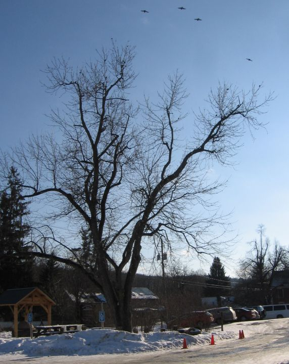 Trees In Winter Identification By Overall Shape Farmscape
