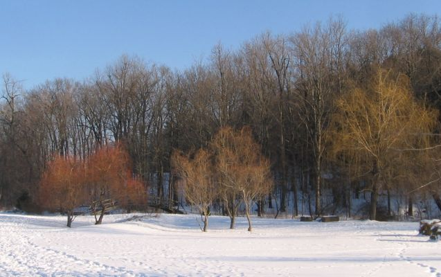 Three Willows trees 2