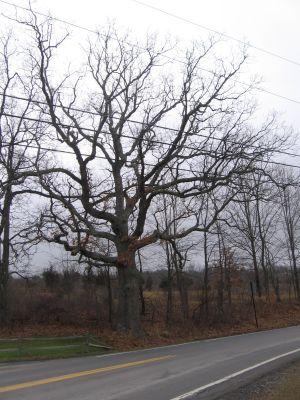 White Oak old tree