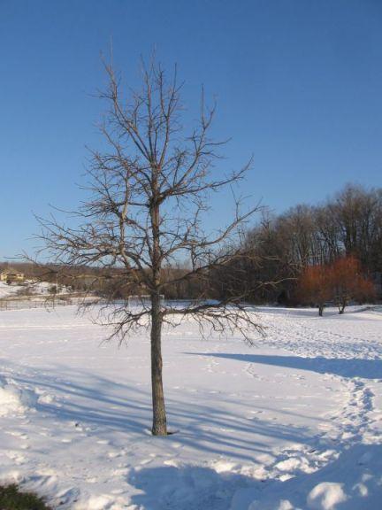 White Oak young tree