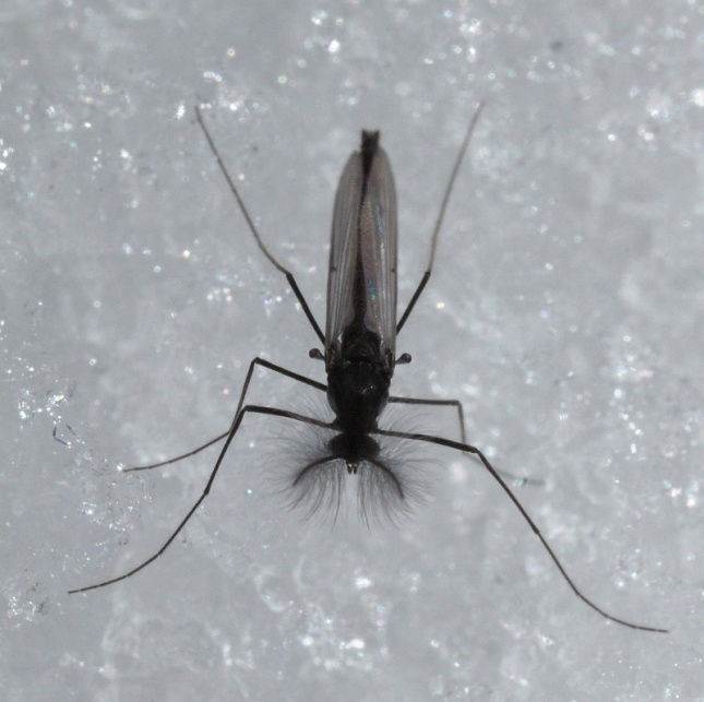A male snow midge, as in moths, those feathery antennae may help pick up the scent of females. Speaking of females...
