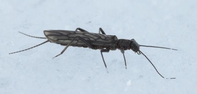 small stonefly redux