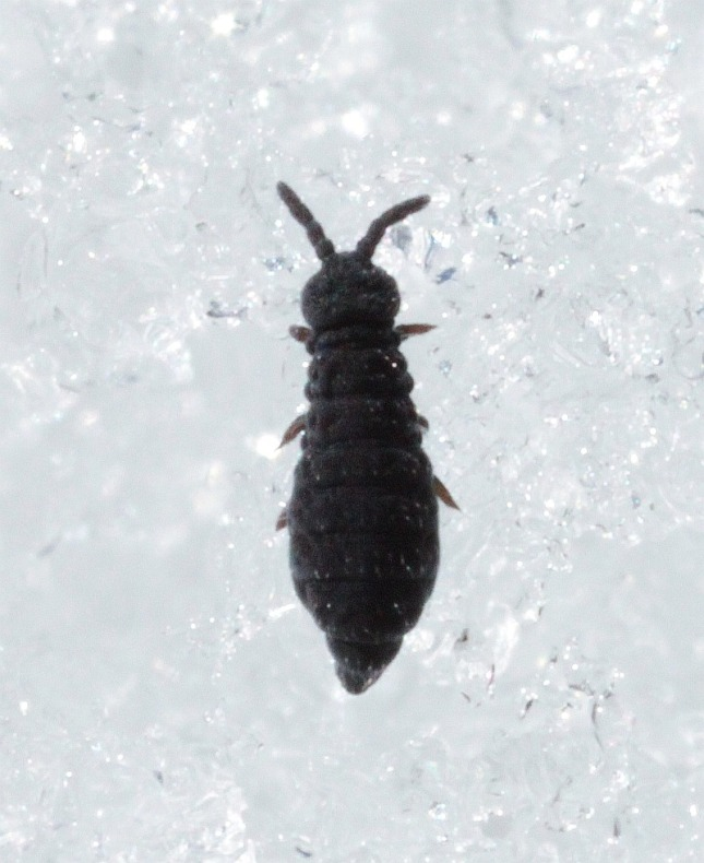 Some Snow Flea shots.