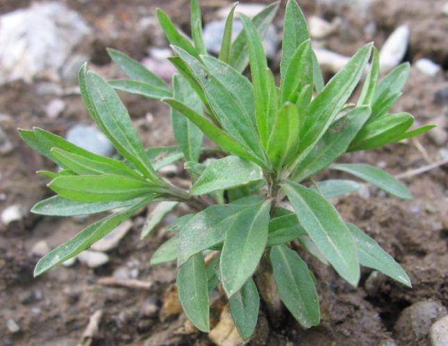 BRASSICA Wormseed Mustard (Erysimum cheiranthoides) 8029