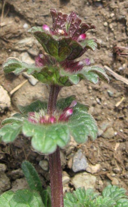 LAMIA Henbit (Lamium amplexicaulum) 7924