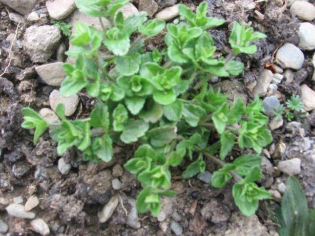 SCROPH Corn Speedwell (Veronica arvensis) 8017