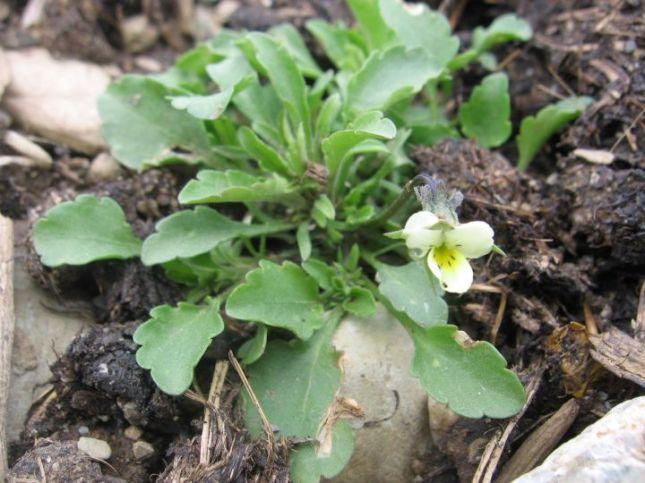VIOLA Field Violet (Viola arvensis) 7949
