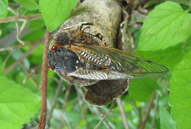 The red eyes, black body, and orange wing veins of the 17-year Cicada.