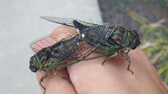 Our Dog-day Cicadas. Some of these emerge each year, usually starting their serenades some time in July. Historically, these were called Harvest Flies, presumably because they flew late in the summer as harvest was occurring. Image from Wikipedia.