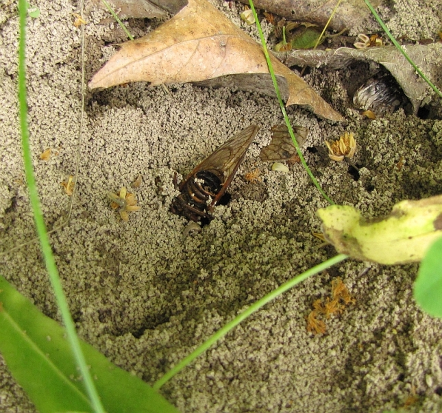 This photo shows a cicada carcass embedded in an ant hill. Surely, the ants are 'celebrating' this as a banner year. The photograph also shows the hollowness of the cicada's abdomen. In this case, the tip has broken off.