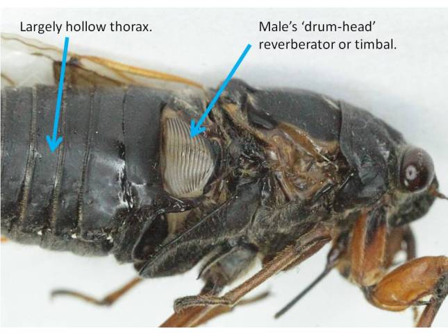 The male's sound-producing timbal. Apparently, muscles around the edge warp and release this structure causing it to reverberate.