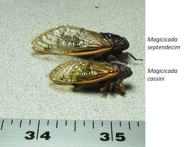 Our two species of 17-Year Cicada. Magicicada septendecim is the larger species. They also have a patch of orange between the eye and the wing insertion (only vaguely visible on this specimen which I found dead). The underside of that species also has orange bands.