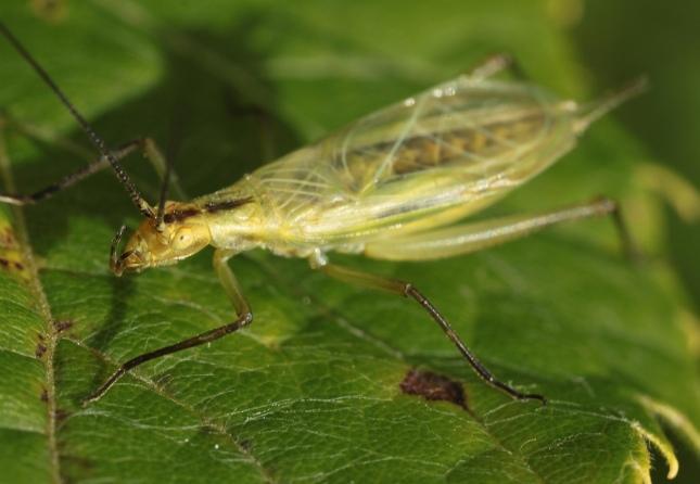 blk horned tree cricket2