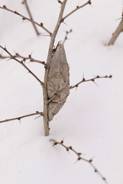 The cocoon of a Cecropia Moth is attached to a Japanese Barberry branch.