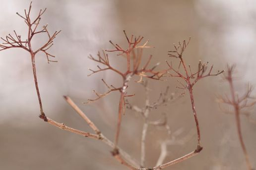The empty flower stalks of Gray-twig Dogwood.