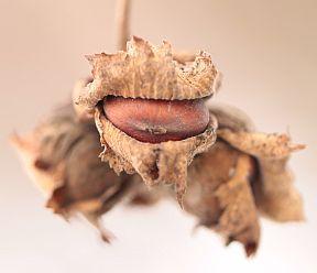 Fruit of American Hazel, a native, wild-growing hazelnut shrub.