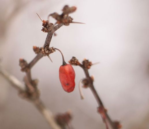 Japanese Barberry fruits are eaten by birds who disperse them to new sites.