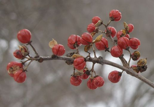 Oriental Bittersweet fruits in late winter.
