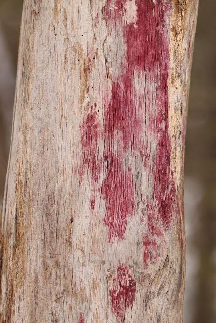 Mysterious pink stain on dead tree.