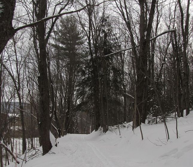 The abundant conifers along the first section of the trail are Norway Spruce.