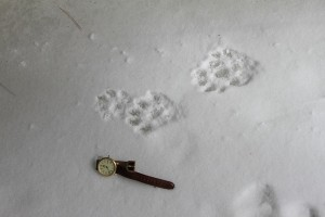 The Otter's track close-up.
