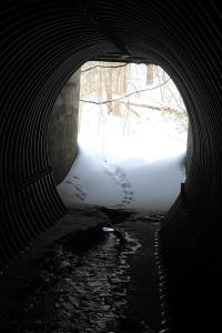 The tracks got lost on the other side of this culvert (culverts are well-known wildlife corridors), where the Otter had walked onto the ice of a pond and the wind had blown snow over the tracks.