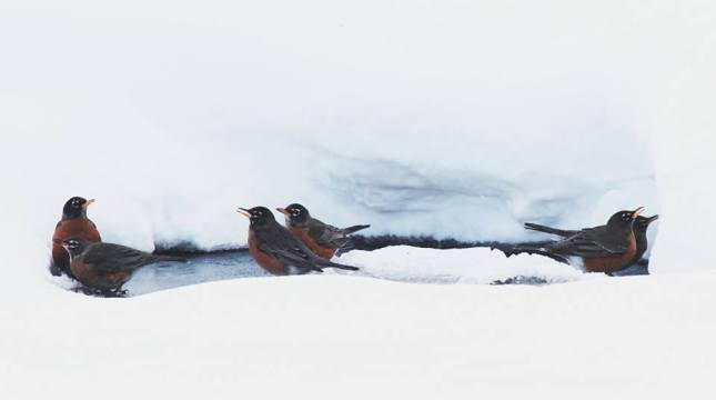 And who said that robins move south in the winter? Well, not this winter! They were gathering to drink around the few open water sources in the middle of February.