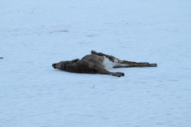 Dead Deer at Hawthorne Valley at the end of February.