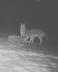 Coyotes feeding on Deer carcass at night.