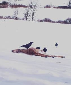 Crows frequently visited the carcass.