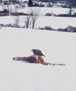A Red-tailed Hawk got its meal.