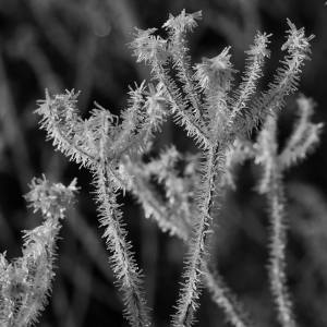 Frozen fog on Wild Carrot