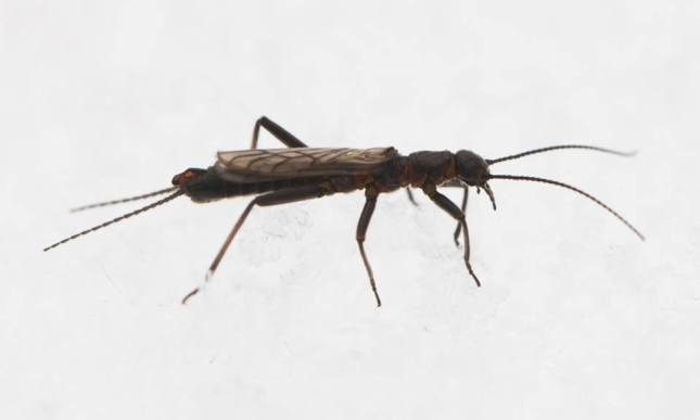 Winter Stoneflies are aquatic during their larval stage, but emerge from clean streams as adults in the middle of winter.