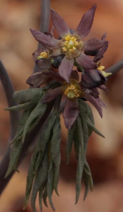 16 blue cohosh flowers 2