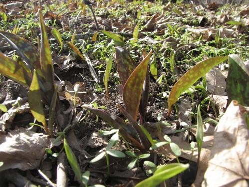 19 Trout Lily lawn