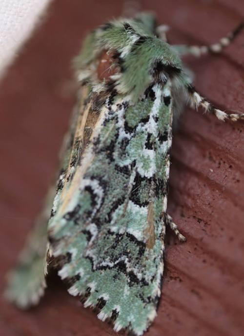 29 moth
