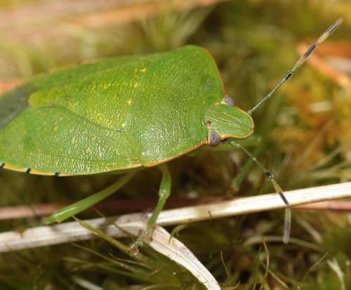 32 Green Stink Bug