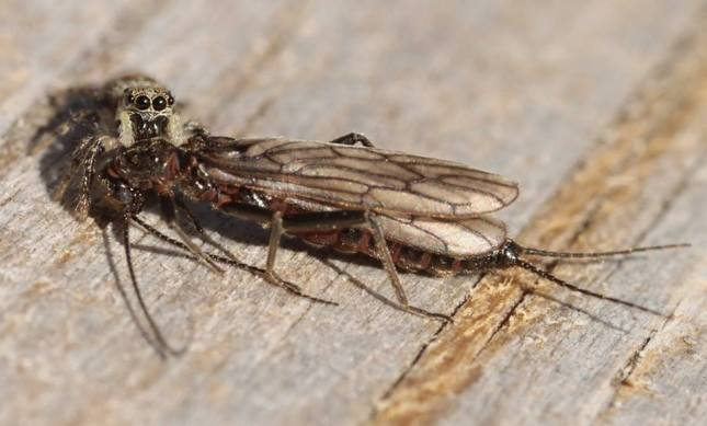 33 jumping spider w stonefly