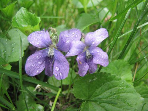 Common Violet (Viola sororia)