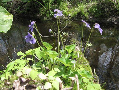 Marsh Violet
