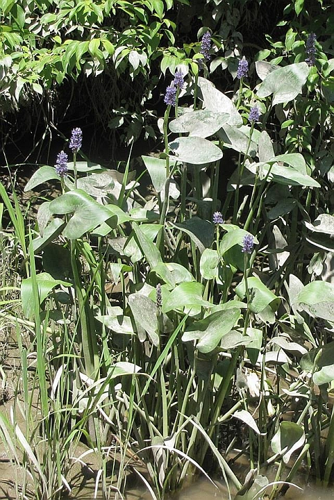 19 Pickerelweed