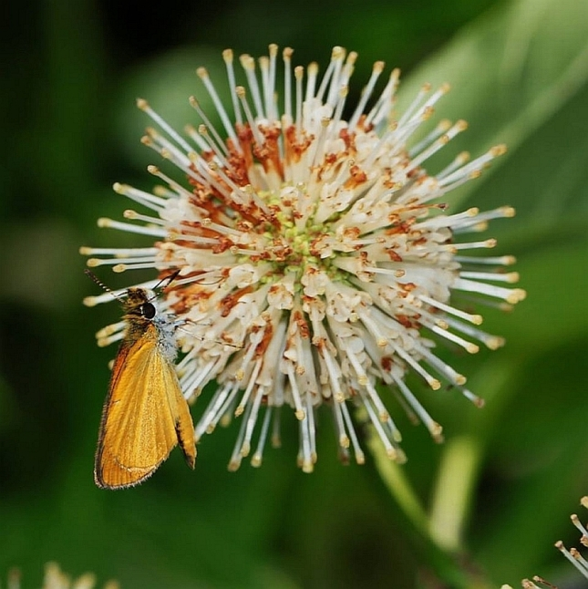 29 buttonbush w least skipper
