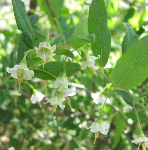 Deerberry or Squawberry (Vaccinium stamineum)
