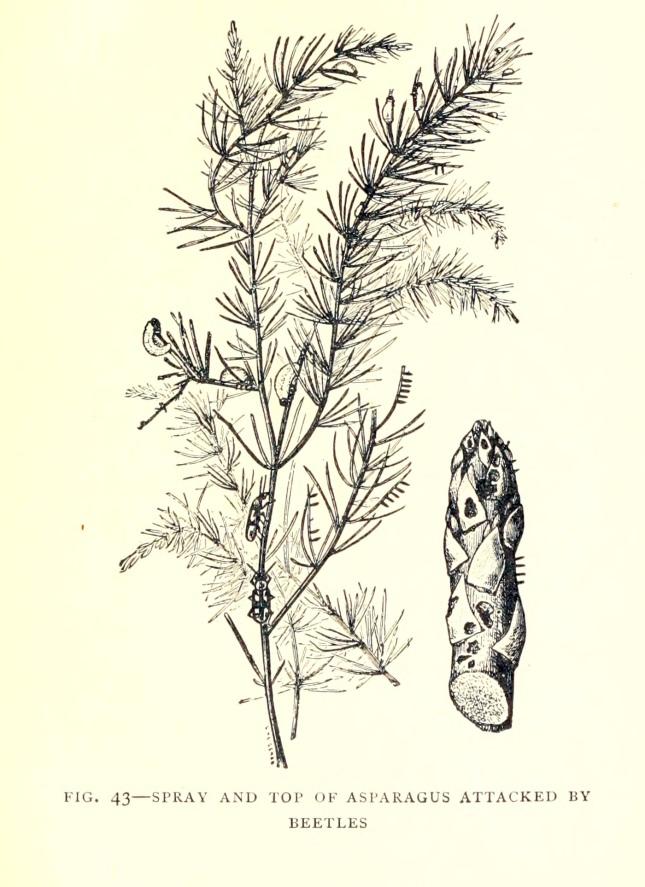 asparagusitscult00hexa_0141