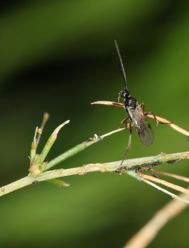 wasp 3W5A1165