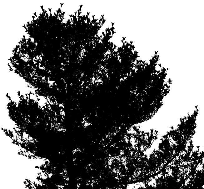 13 white pine 3W5A9977